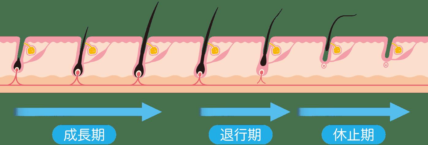 ヒゲ脱毛にかかる回数_見出し1_毛周期